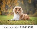 Rough Collie Dog Lying On The...
