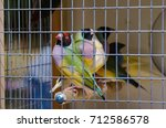 gouldian finch in the cage   Shutterstock . vector #712586578