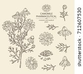 collection of camomile   leaves ...   Shutterstock .eps vector #712607530