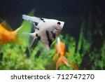 Angel Fish In A Aquarium