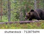 bear in taiga forest | Shutterstock . vector #712875694