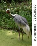 Small photo of Marsh with a striking white naped crane.