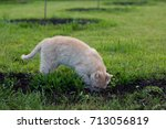 Ginger Cat Digging In The...