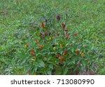 tabasco chilli bush in the field   Shutterstock . vector #713080990