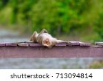 long tailed macaque. | Shutterstock . vector #713094814