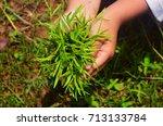 human hands holding green grass ...   Shutterstock . vector #713133784