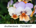 Beautiful tiny tricolored violas ( Heartsease or Johnny Jump Ups) Macro with shallow dof. - stock photo
