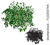 ficus dwarfish  ficus pumila ... | Shutterstock .eps vector #713203744