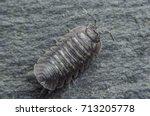Small photo of Single woodlouse bug on slate background
