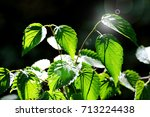 green leaves with dew in the... | Shutterstock . vector #713224438