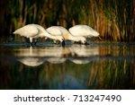 Three Eurasian Spoonbill ...