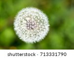 Top View Of A Common Dandelion...