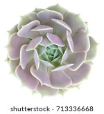Echeveria Lola Succulent