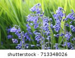 Bluebells Or Hyacinthoides Non...