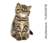 Stock photo kitten of breed a exotic shorthair on a white background 713425078