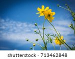 Yellow Cosmos Flower On Blue...