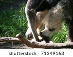 giant anteater digging into... | Shutterstock . vector #71349163