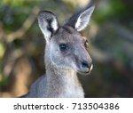 grazing kangaroo  jervis bay... | Shutterstock . vector #713504386