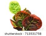codiaeum variegatum blume ...   Shutterstock . vector #713531758