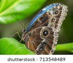 Butterfly  Morpho Peleides ...