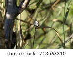 Small photo of Air-breathing land snail clung to the blade of grass (Xerolenta obvia)