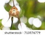 A Monkey Orchid  Looks Like A...