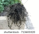 Small photo of The roots of diseased leaves, marigold curls were withdrawn from the converter to prevent the spread of disease to other trees.