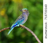 beautiful bird  indian roller ... | Shutterstock . vector #713733160