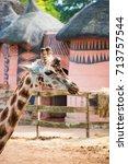 giraffe showing tongue. profile ... | Shutterstock . vector #713757544