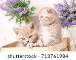 two little red scottish fold...   Shutterstock . vector #713761984