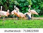 pink flamingos  phoenicopterus... | Shutterstock . vector #713822500