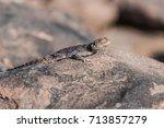 lizard  namibia | Shutterstock . vector #713857279