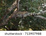 Brazilian Pantanal   Jaguar