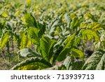 green tobacco leaf in tobacco... | Shutterstock . vector #713939713