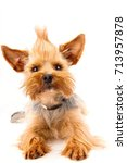 front view of a yorkshire... | Shutterstock . vector #713957878