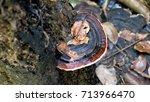 Turkey Tail Polypore Mushroom ...