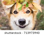 a dog of the welsh corgi breed... | Shutterstock . vector #713973940