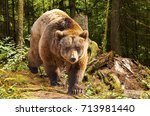 canadian brown bear moving in... | Shutterstock . vector #713981440