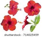 four flowers of hibiscus...   Shutterstock . vector #714025459