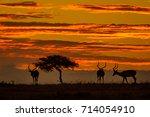 three impalas and acacia tree...   Shutterstock . vector #714054910