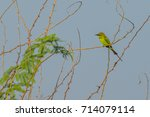 green bee eater perched on a... | Shutterstock . vector #714079114