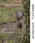 A gray squirrel hangs onto the side of a tree.