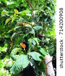 Insect Galls On Teak Tree...