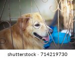 The Golden Dog Is Trapped In A...