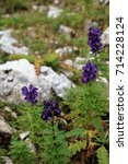 Small photo of Alpine purple wild flowers, Aconitum, in Dolomites mountain at Piz Boe in Sud Tyrol, Alto Adige, Italy