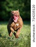 American Pit Bull Terrier Dog...