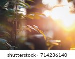 tree branches in sunlight at... | Shutterstock . vector #714236140