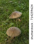 Small photo of Pink amanita rubescens in green grass in south Bohemia