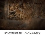 Indian Leopard In The Nature...