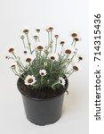 rhodanthemum casablanca | Shutterstock . vector #714315436